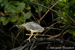 Night heron, Kvakos, Mangroves