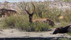 Elk on road from Jasper to Edmonton