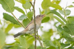 Garden Warbler (FAUVETTE DES JARDINS)