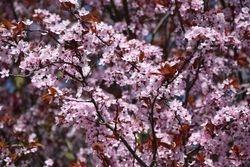 Arbre en fleurs 4