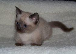 Mom Sassy's seal pt. shorthair Munchkin girl (one of 5 in that litter)!