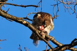 Red Tailed Hawk with dinner. 2
