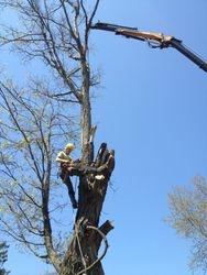 dead mapple crane removal