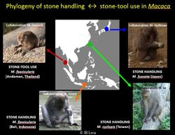 phylogeny of stone handling and stone tool use