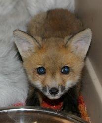 "Red Fox kit- ""Robin"""