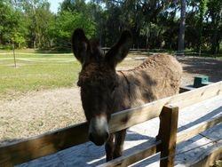 Duke the Donkey