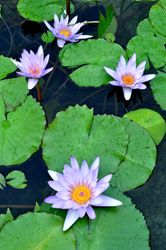 Four Water Lilies