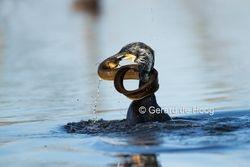 aalscholver met paling