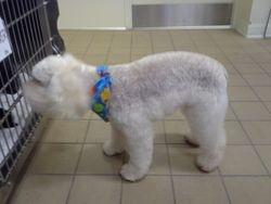Poodle in a schnauzer pattern