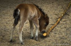 Mini Pferd / Mini Horse