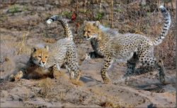 Phinda cheetah cubs