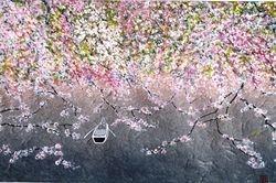 Cherry Blossom C