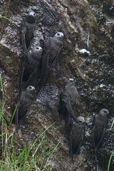 Andorinhao-velho ( Cypseloides senex )