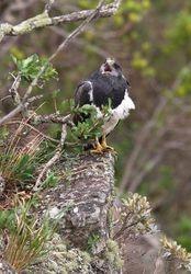Aguia-chilena ( Geranoaetus melanoleucus )