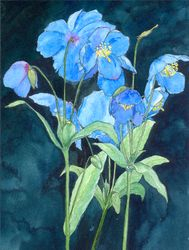 Himalayan Poppies