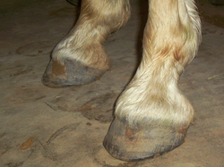 Honcho has Excellent, Barefoot Hoofs