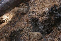 Morchella tomentosa