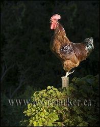 Rooster,Nova Scotia