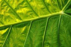 Leaf Detail 2