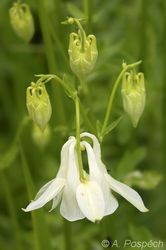 Aquilegia vulgaris - orlicek obecny