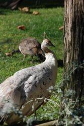 A peahen in Cascais park