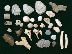 Fossil shells, coral and whale bones found by one of our people during our NC Memorial Day Weekend Fossil Trip