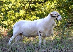 Clay my St Croix Ram