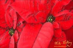 Nochebuena (Poinsettia) #11