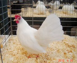 Reserve S.C.C.L- Single comb White Leghorn Pullet- House of Champions