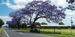 Tom's Trike under a Jacaranda Tree at Ulamarra - Nov 2005