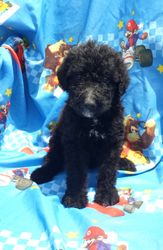 Barbara:  $1195, female Airedoodle, born on 4-21-17, pics on 5-29-17, Mother is a Giant Airedale Terrier, Father is a Royal Standard Poodle