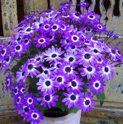 Beautiful Senetti's