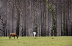 Horses Fog n Burnt Forest