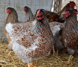 Blue Laced Red Wyandottes