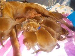 Very full puppies