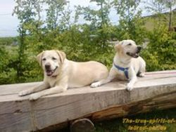 labradors from fam gamber