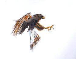 Pouncing falcon