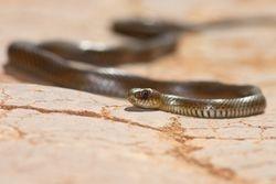 Cobra parelheira ( Phylodryas patagoniensis )