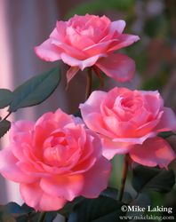 Pink Mexican Roses