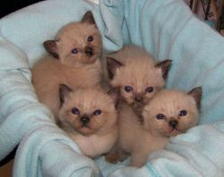 Mom Sassy's seal pt. shorthair Munchkin litter of 5 girls (Piccolina not in this photo)
