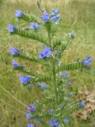 Viper's bugloss flowers