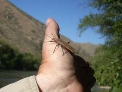 Boise River Salmonfly