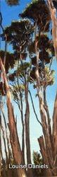 Tea Tree Canopy 3