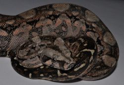 Female Tarahumara Mountain Boa