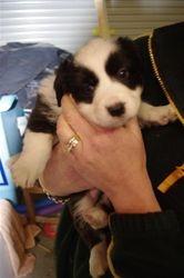 Mischas puppies- 5 weeks old!