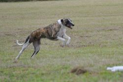 At Lure Coursing Fun Day