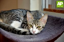 YURI A SHY ARABIAN MAU LOOKING FOR A SAFE HOME TO BE THE LOVING CAT SHE IS
