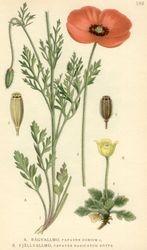 Long-headed Poppy Papavar dubium