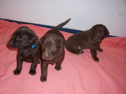 3 Males - 3 Weeks Old