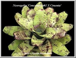 Neoregelia 'concentrica x cruenta' $20.00